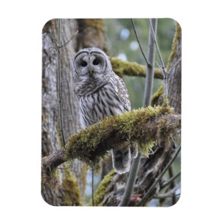 Barred Owl Resting on a Moss Covered Limb Magnet