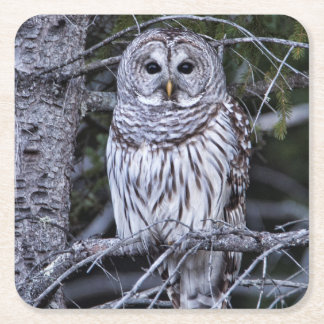 Barred Owl Square Paper Coaster