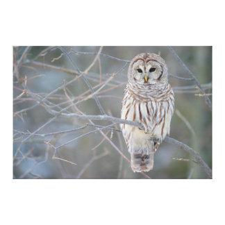 Barred Owl Strix Varia Gallery Wrap Canvas