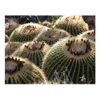 Barrel Cactus in Early Morning Light Postcard