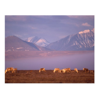 Barren ground caribou, Porcupine herd on calving Postcard