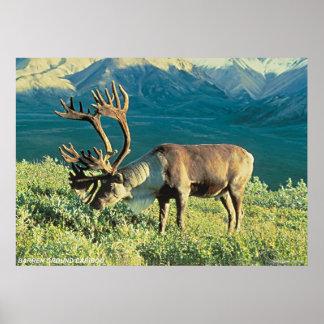 Barren Ground Caribou Poster