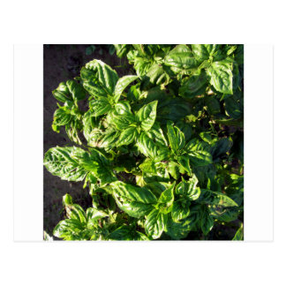 Basil cultivated in open field postcard