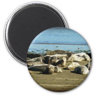 Basking Seals Fridge Magnets