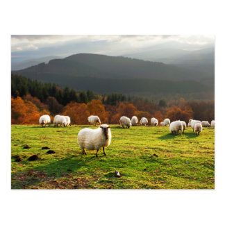 basque country latxa sheep postcard