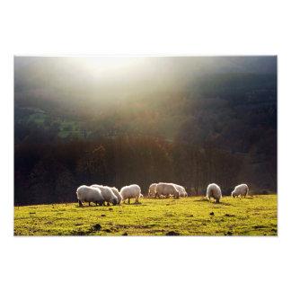 basque sheep photo print