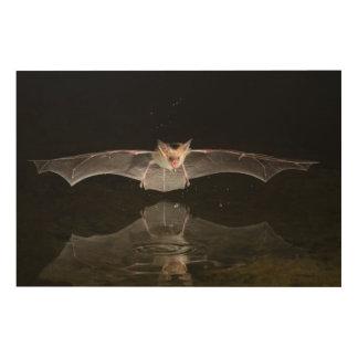Bat drinking in flight, Arizona Wood Canvas