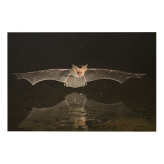 Bat drinking in flight, Arizona Wood Print