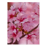 Bathed in Pink Japanese Cherry Blossoms Post Card