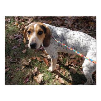 Beagle and Spaniel Mix Looking Up at Camera Photo Print