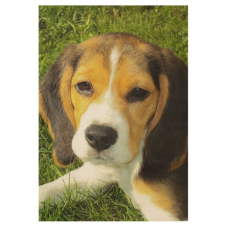 Beagle puppy lying down wood poster
