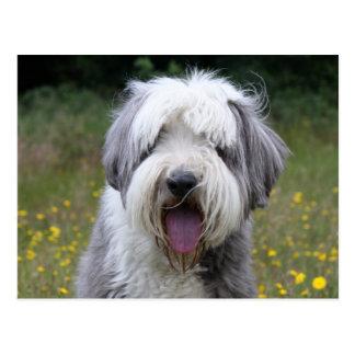 Bearded Collie dog beautiful photo postcard