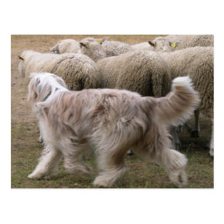 bearded collie working.png postcard