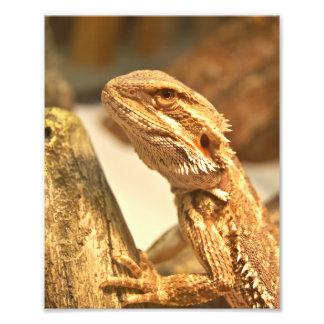 Bearded Dragon Photograph