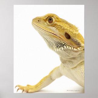 Bearded dragon (Pogona Vitticeps) Poster