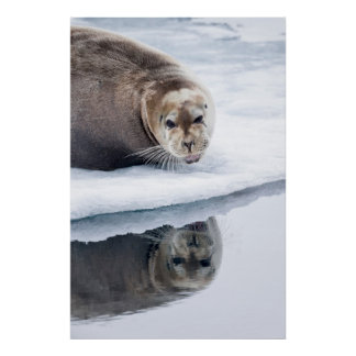 Bearded seal on ice, Norway Poster