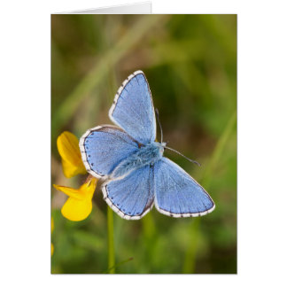 Beautiful Adonis Blue Butterfly Greeting Card