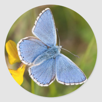 Beautiful Adonis Blue Butterfly Stickers