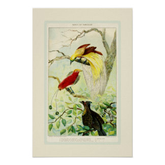 Beautiful Antique Birds of Paradise Bird Chart