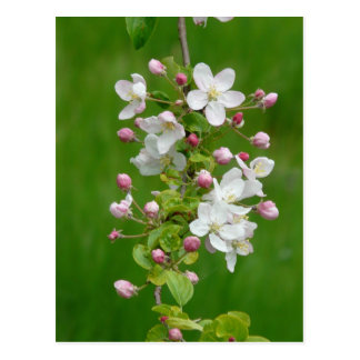Beautiful apple blossom postcard