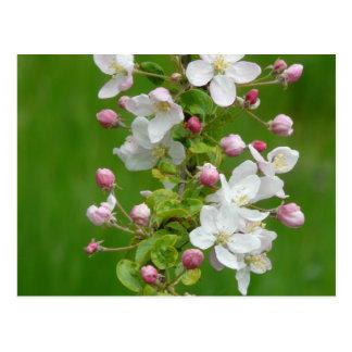 Beautiful apple blossom post cards