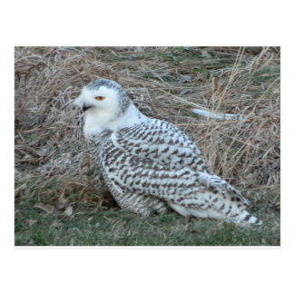 Beautiful Artic Snowy Owl postcard Customize PC