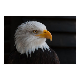 Beautiful bald eagle portrait poster