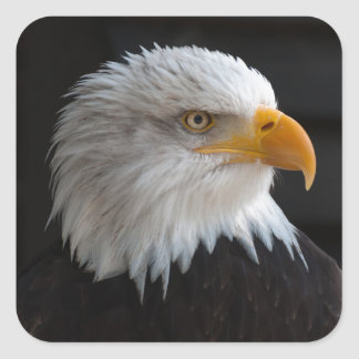 Beautiful bald eagle portrait square sticker