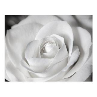 Beautiful Black and White Rose Postcard