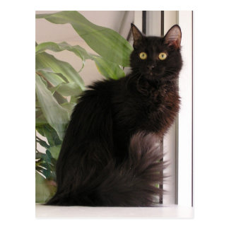 Beautiful Black Cat Postcard