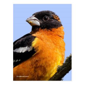 Beautiful Black-Headed Grosbeak in a Tree Postcard