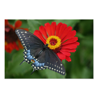 Beautiful Black Swallowtail Butterfly & Red Zinnia Poster