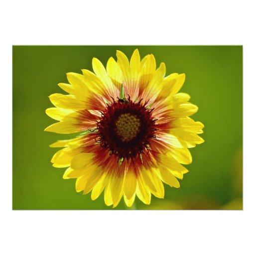 Beautiful Blanket flower, gaillardia aristata Invitations
