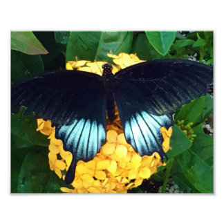 Beautiful Blue Butterfly on Yellow flowers Photo Print