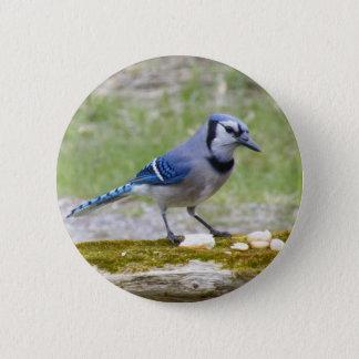 Beautiful Blue Jay bird 6 Cm Round Badge
