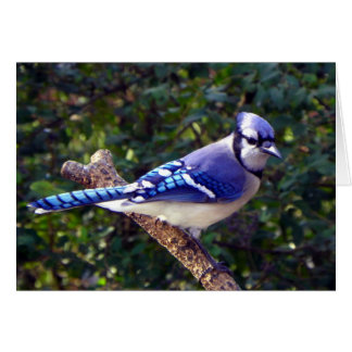 Beautiful Blue Jay Card