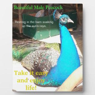 Beautiful Blue Male Peacock Barn EASEL Plaque
