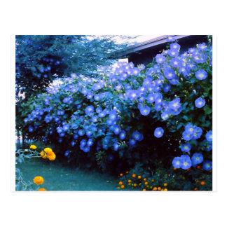 Beautiful blue morning glory flowers postcard