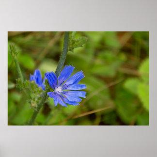 Beautiful blue mountian flower poster