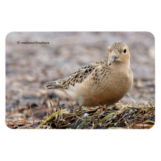 Beautiful Buff-Breasted Sandpiper at the Beach Rectangular Photo Magnet