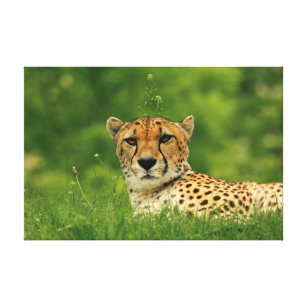 Beautiful cheetah laying in the shade. canvas print