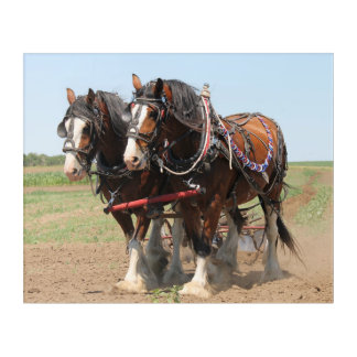 Beautiful clydesdale horses ploughing acrylic print