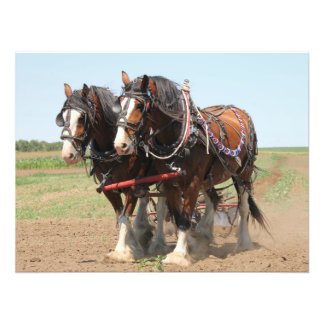 Beautiful clydesdale horses ploughing photo print