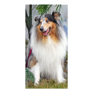 Beautiful Collie dog blue merle photo card gift