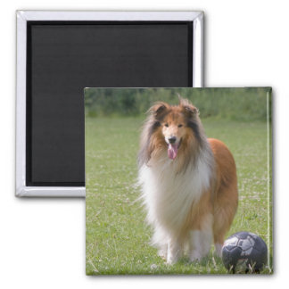 Beautiful Collie dog portrait magnet, gift idea Magnet