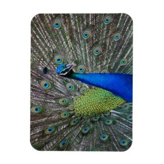 """Beautiful Colorful Peacock 3"""" x 4"""" photo magnet"""