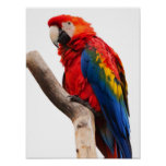 Beautiful Colourful Scarlet Macaw Parrot Bird Poster