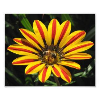 Beautiful Elegant Colorful Gazania with Honey Bee Photo Print