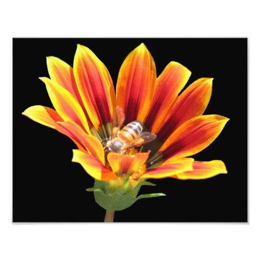Beautiful Elegant Colorful Gazania with Honey Bee Photo Art