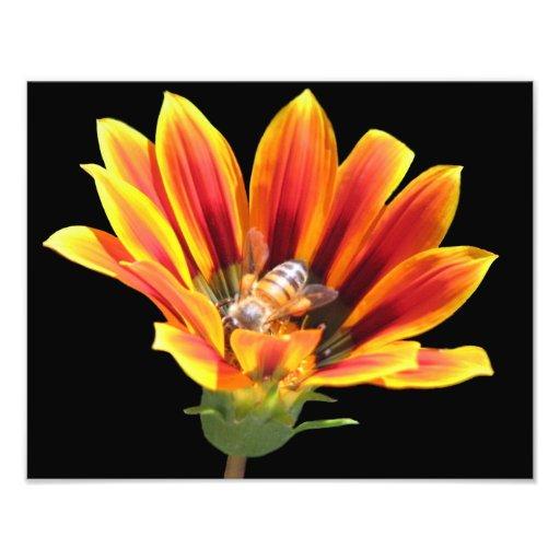 Beautiful Elegant Colorful Gazania with Honey Bee Photo